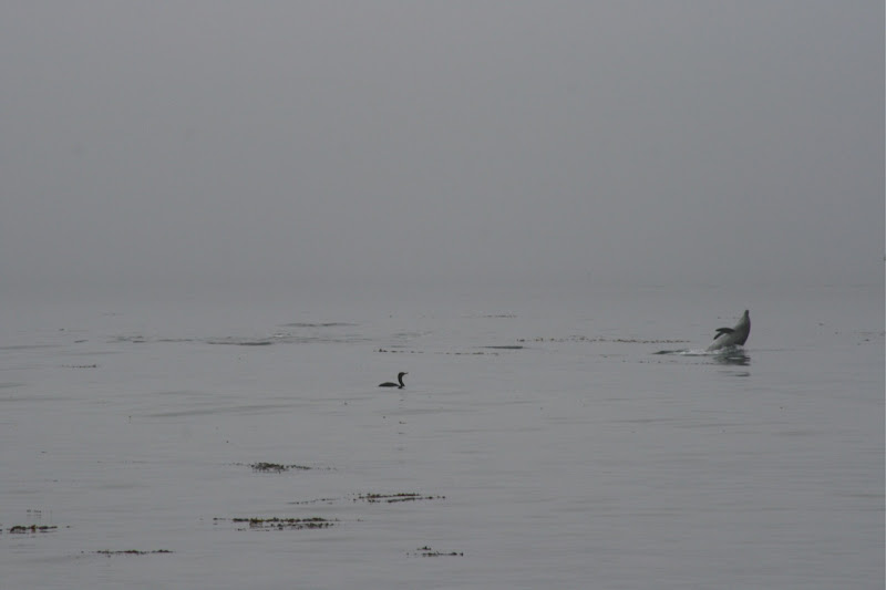 Dolphin playing at Hendry's Beach