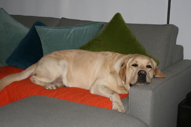 Yellow Labrador sofa Cooper