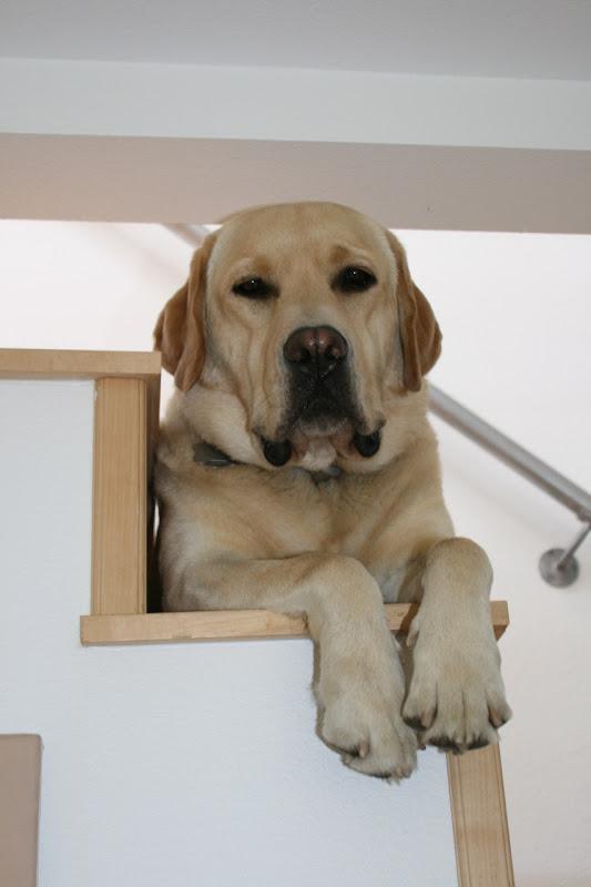 Labrador Cooper paws Oct 10
