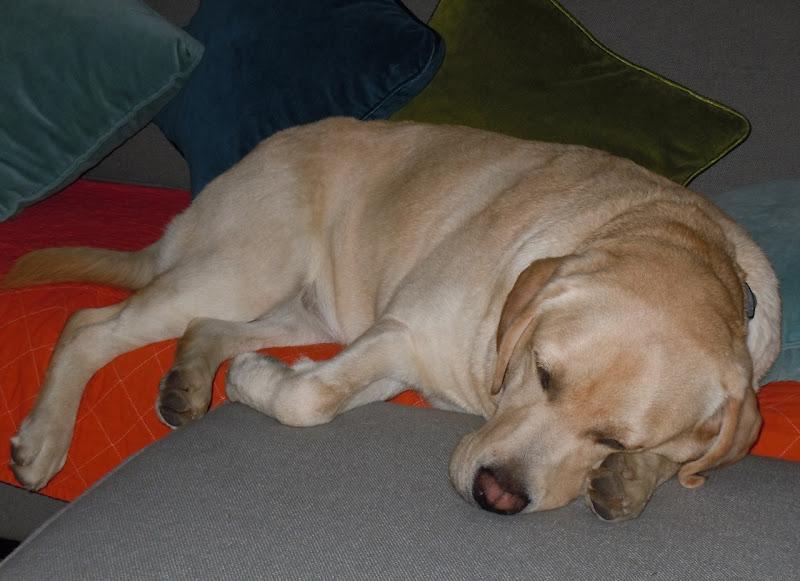 Sleeping Labrador Cooper Nov 10