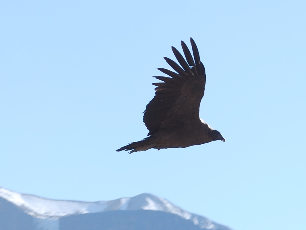 Largest flying bird in the world andean condor - photo#11