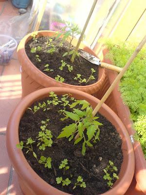 L 39 orto sul balcone e terrazzo di casa trapianto pomodori for Trapianto pomodori