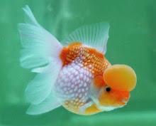 金鱼象征幸福圆满