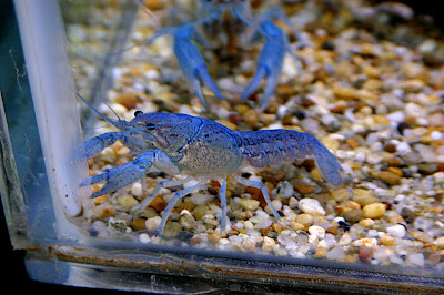 Zhe Blue Lobster Lord, HAS COME BACK!! Dx BlueLobster3