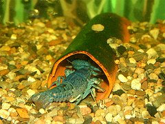 die water education center odds finding naturally occurring blue lobster