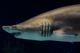 Gray nurse shark, aka sand tiger shark, at the Minnesota Zoo by Joe Lencioni