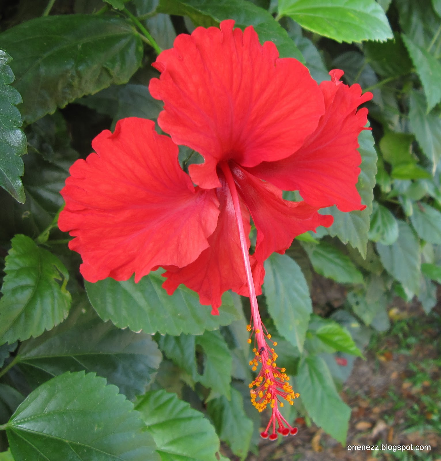Onenezz hibiscus rosa sinensis this five petaled red hibiscus was selected amongst the many varieties of hibiscus as the national flower the five petals represent the five principles of izmirmasajfo