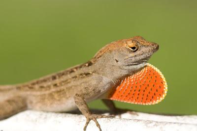 The Wandering Merlin: Backyard lizards