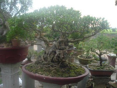 Pertandingan Bonsai
