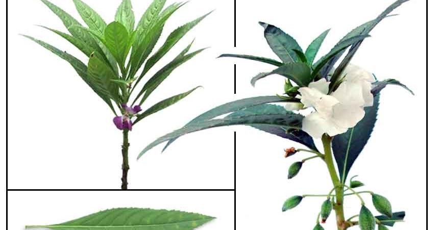 impatiens balsamina linn kamantigue flower extract Lawsonia inermis extract impatiens balsamina extract /henna extract/ lawsonia inermis extract product source: mpatiens balsamina linn part used: flower.