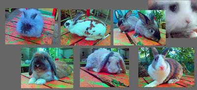 kelinci arnab