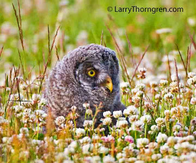 Larry Thorngren - Great Gray owlet in clover