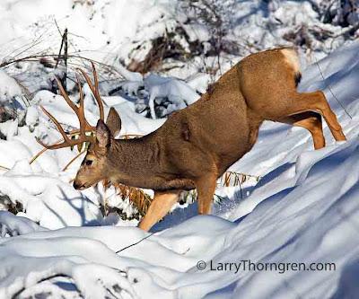 Pics Of Deer In Snow. Mule deer gather in November