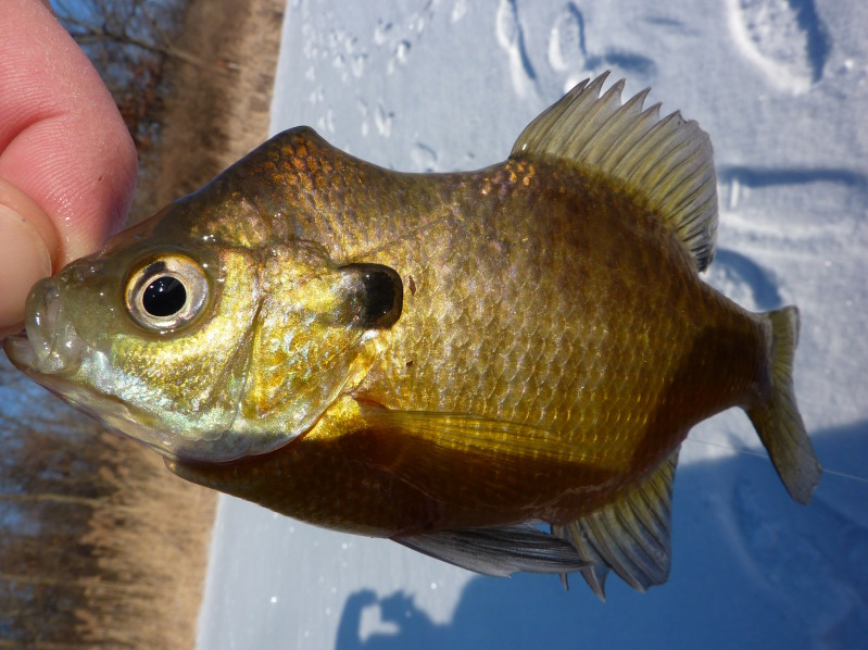 Fishing through life unusual bluegill what happen to this for Bluegill fly fishing