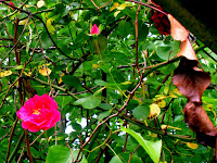 rose life death leaves