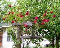rose pink red arkansas