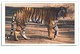 Y Tiger Is Our National Animal National Animal  Tiger