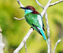 Blue-throated Bee-eater_2011