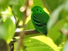 Green Broadbill_2011