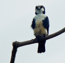 White-fronted Falconet_2011