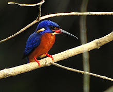 Blue-eared Kingfisher_2011