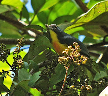 Yellow-rumped flowerpecker_2011