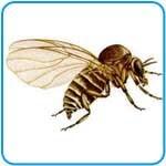 (info)descripcion de la mosca jorobada(info)