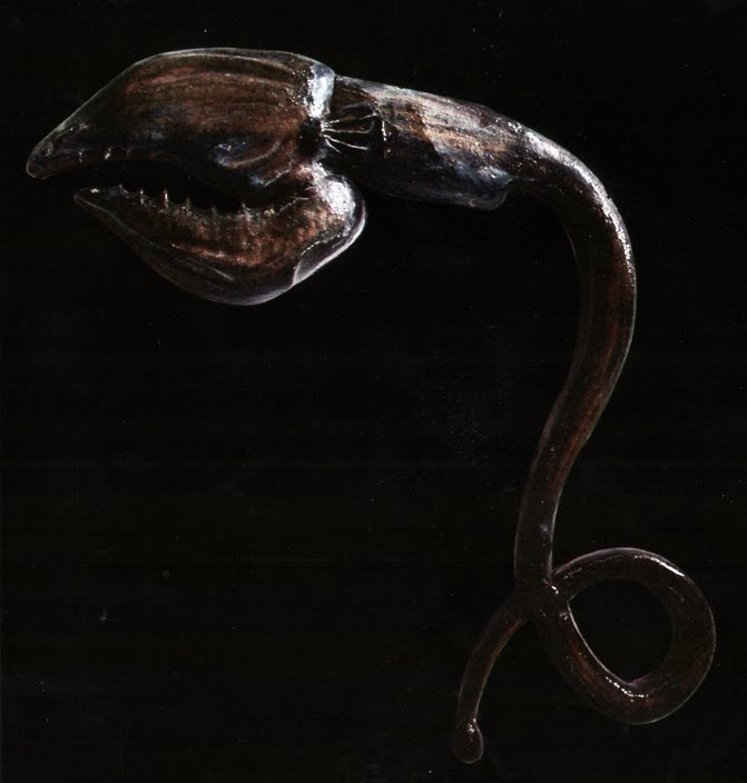 Air gulper eel for Tp fish market