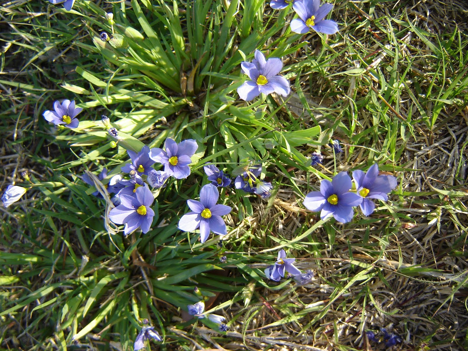 Driven dotty spring and summer flowers these wee blossoms grow in little patches in the park by our house they look a little like teeny tiny blue irises izmirmasajfo