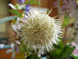 Buttonbush
