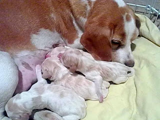 Beagle Bicolor red & white