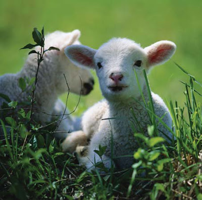 NAMC montessori classroom spring animal and nature activity study baby lambs