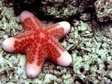 bintang laut (sea star)