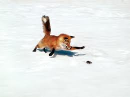 Animal Facts - The average fox weighs 14 pounds.