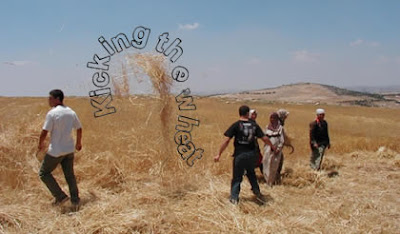 The Israeli illegal settler unload the bundles of wheat from the truck
