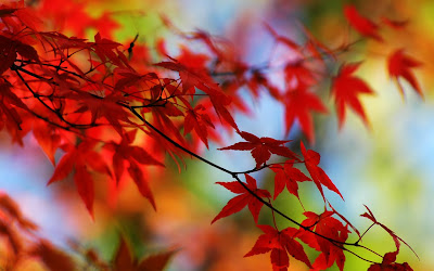 Amazing Nature Autumn Season High Definition Widescreen HQ Wallpapers Vine Maple Leaves In Red And Orange Trees