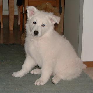 White Shepherd Dog Puppy