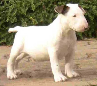Bull Terrier Puppy Pic