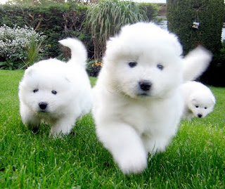 Samoyed Puppies Picture
