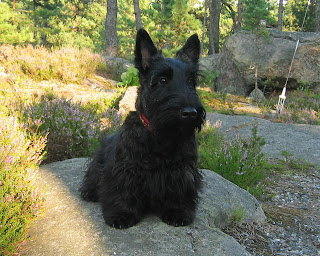 Scottish Terrier Scottish Terrier Dog Picture