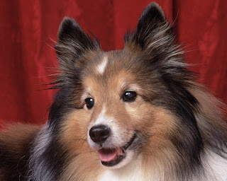 sheltie Photo