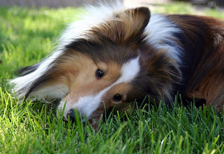 sheltie Cute Dog