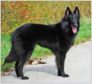 Belgian Sheepdog Image
