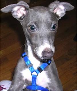 Italian Greyhound Puppy Face