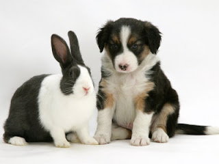 Collie And Rabbit Picture