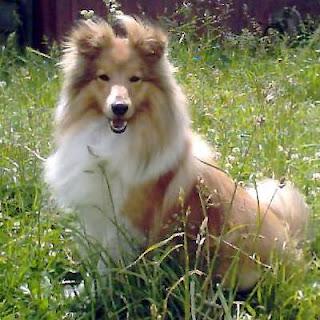Shetland Sheepdog Dog Image