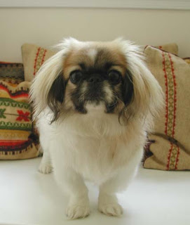 Pekingese Puppies Picture