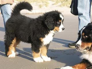 Appenzeller Mountain Dog Puppies