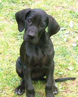 Great Dane Dog Picture