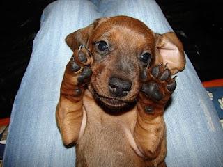Dachshund Cute Dog Pic
